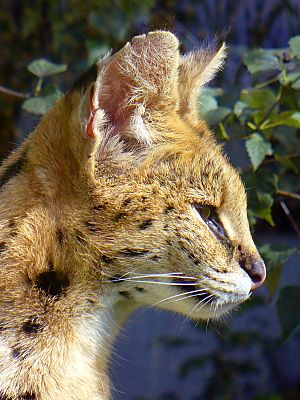 Serval Facts for Kids