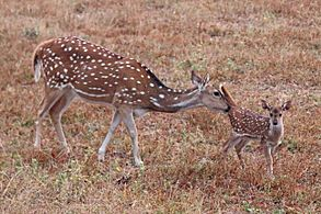 Spotted deer (Axis axis) mother with newborn