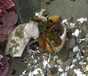 Hermit crab fighting for a new shell