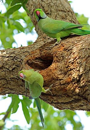 Male and female parakeet 1