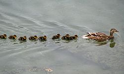 Mallard and ducklings, Bangor (2) - geograph.org.uk - 836573