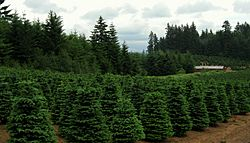 Christmas tree farm near Redland