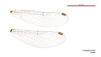 Cordulephya bidens female wings (35019414836)