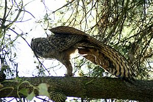 Great-horned-owl-stretching