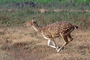 Spotted deer (Axis axis) female running