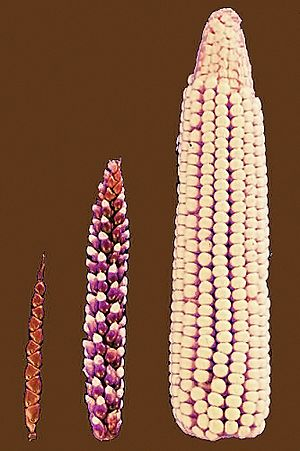 Cornselection
