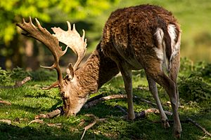 Fallow buck deer with palmate antlers in sunlight