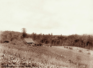 Queensland State Archives 2390 C M Nothlings vineyard and shingle roof cottage at Teutoberg Blackall Range c 1899