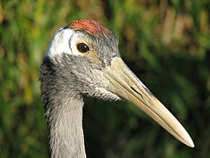 Red-crowned Crane head