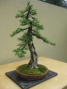Larix laricina bonsai by Nick Lenz