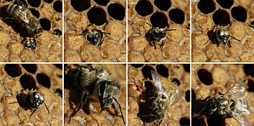 Birth of black bee (Apis mellifera mellifera)