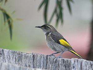Male Crescent Honeyeater