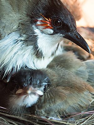 Red-Whiskered Bulbul with Chick