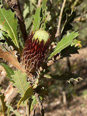 Banksia heliantha side view