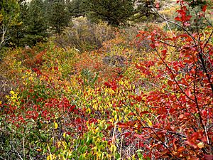 Fall colors, Poudre Canyon