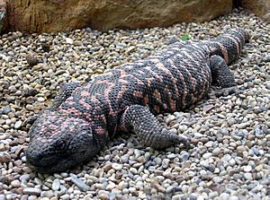 Gila.monster.arp