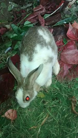 Indian Rabbit1