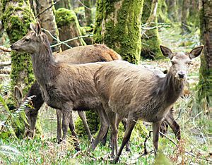 Irl-female red deer Killarney