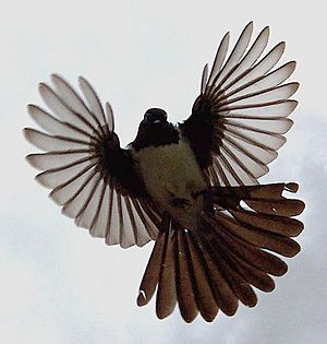 Will wagtail flight