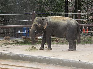 Asian Elephant at the zoo
