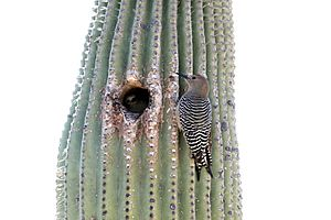 Gila woodpecker on Saguaro