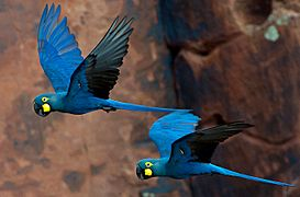 Lear's Macaw Anodorhynchus leari (cropped)