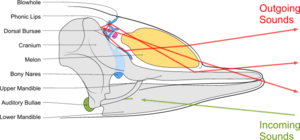 Diagram illustrating sound generation, propagation and reception in a toothed whale. Outgoing sounds are in red and incoming ones are in green