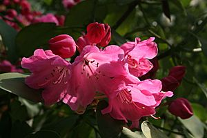 0 Rhododendron - Celles (Hainaut) 3