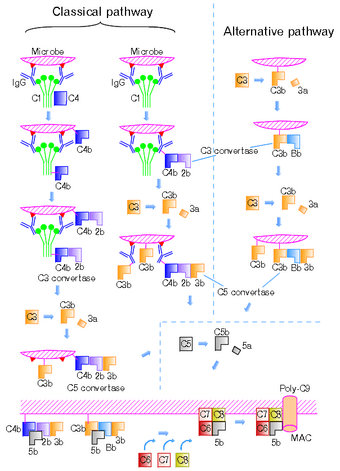 Complement-pathways