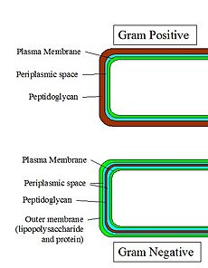 Gram-Cell-Wall