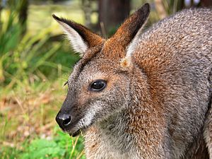 Red Necked Wallaby Facts For Kids