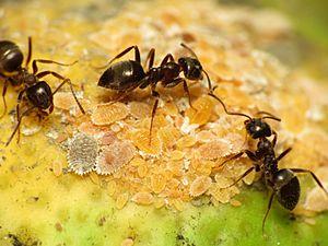 300px Black Garden Ant tending Citrus Mealybug %2816063538972%29