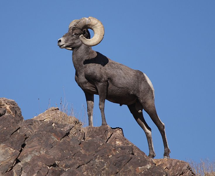 Desert Bighorn Sheep Joshua Tree cropped