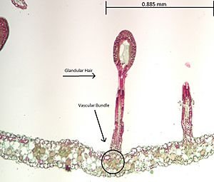 Drosera Glandular Hair