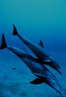 Bottlenose dolphin mother and juvenile