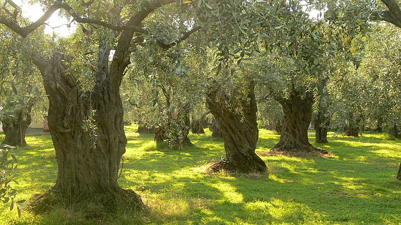 Olive trees on Thassos
