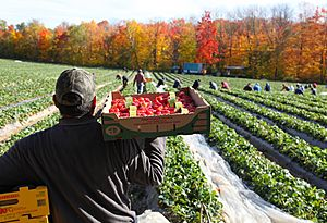 Picker on a strawberry field in Quebec, Canada