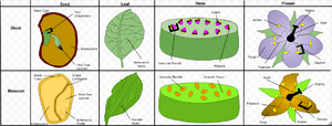 Comparison of Monocotyledons and Dicotyledons