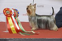 SILKY TERRIER, Paradise Passion Every Inch A Lady (24182688032).jpg