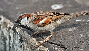 House Sparrow (Passer domesticus)- Male in Kolkata I IMG 5904
