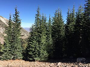 2015-10-31 13 41 37 A grove of Mountain Hemlock along the Mount Rose Trail about 2.1 miles northwest of Mount Rose Summit, Nevada