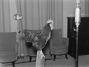 A live rooster in the studio, 1930s.