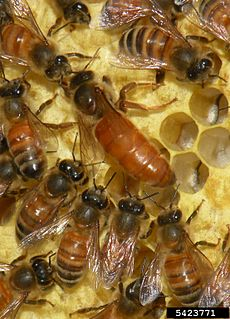 Apis mellifera (queen and workers)