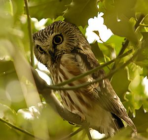 Northern Saw-whet Owl, Reifel BC 1