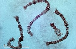 Polytene chromosomes (26 2 97) Salivary glands of nonbiting midges larvae (Chironomidae)