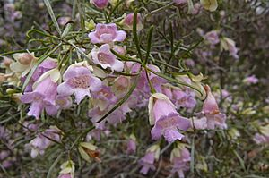 Eremophila sturtii flowers and branches, 2010.jpg