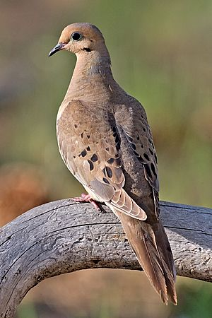 Mourning Dove 2006