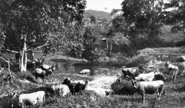 Queensland State Archives 291 Jersey Cattle on the banks of Pinbarren Creek on Mr F ORourkes farm Breffney Pinbarren Noosa Shire c 1931.png
