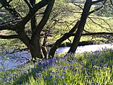 Dane-in-Shaw bluebells