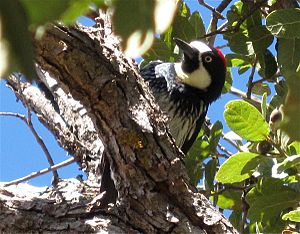 Acorn woodpecker in oak tree